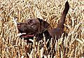 photo thumbnail Smiling Labrador
