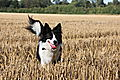 photo thumbnail Bronte at harvest time