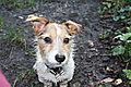 photo thumbnail Jack Russell Hugo