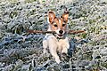 photo thumbnail Hugo the Jack Russell