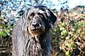 photo thumbnail Holly the Labradoodle