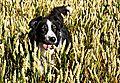 Wheat Dog