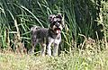 photo thumbnail Riley the Miniature Schnauzer