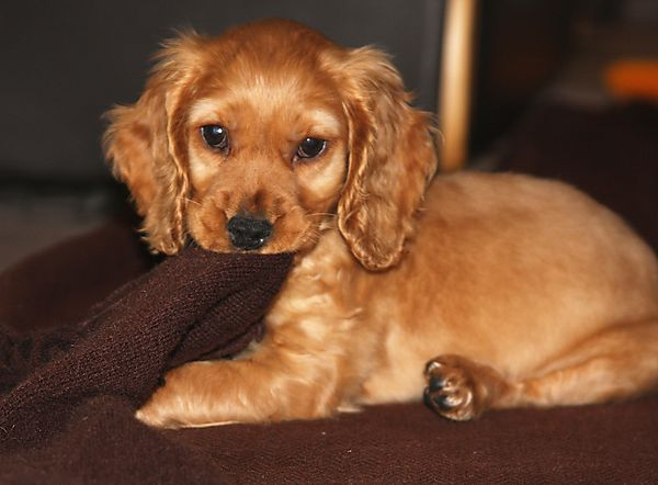 picture of cocker spaniel dog 1000 images about dog breeds on pinterest harlequin 5561